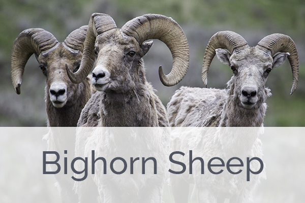 ACES Big Horn Sheep Level Membership