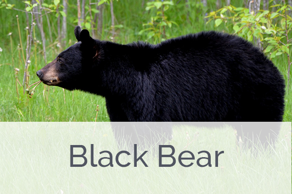ACES Black Bear Level Membership