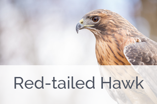 ACES Red-tailed Hawk Level Membership