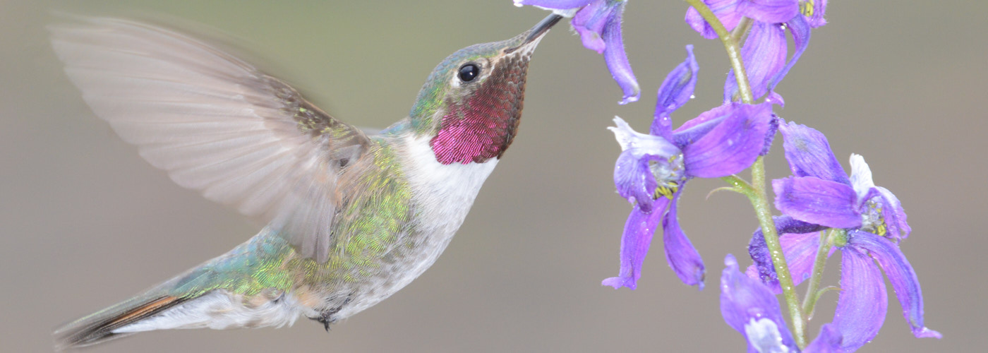 Humming bird sipping nectar from flower