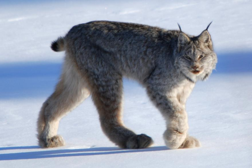 Canadian Lynx by Keith Williams