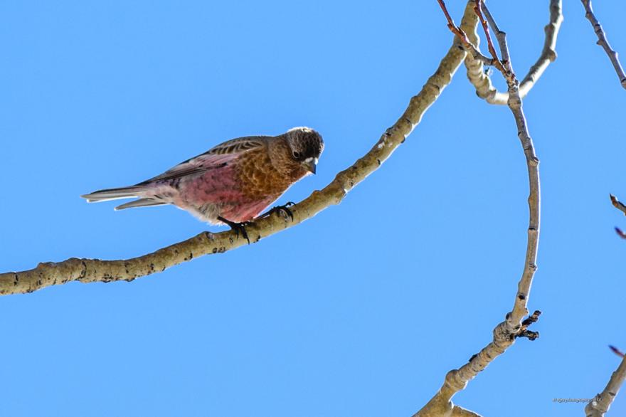 Rosy Finch by Dale Armstrong